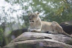 Lionne s'étendant sur des roches Image stock