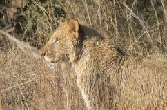 Lionne se cachant dans l'herbe Photographie stock