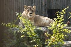 Lionne se reposant dans le soleil de matin au zoo Photographie stock libre de droits