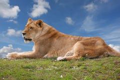 Lionne se reposant sur une côte Image libre de droits