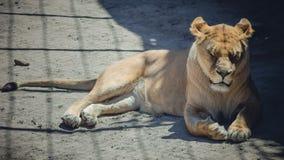 Lionne se situant à la nuance Image stock