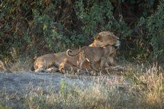 Lionne se situant dans les buissons avec deux petits animaux Image libre de droits