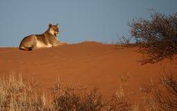 Lionne se trouvant sur une dune rouge 3 de Kalahari Photos stock