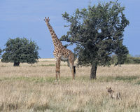 Lionne simple égrappant une girafe Photo stock