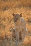 Lionne solitaire Photographie stock