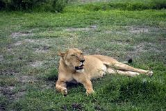 Lionne, stationnement national de Selous, Tanzanie Photo libre de droits
