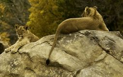 Lionne sur la roche Photos libres de droits