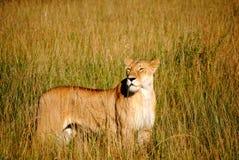 Lionne sur la savane photographie stock libre de droits