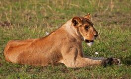 Lionne sur le masai Mara Image stock