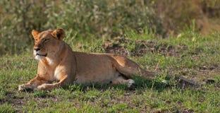 Lionne sur le masai Mara Photos stock