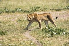 Lionne sur le prowel Images libres de droits