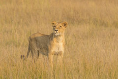 Lionne sur le vagabondage Photo stock