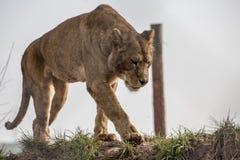 Lionne sur le vagabondage Photographie stock