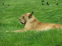 Lionne sur un lit d'herbe Photos libres de droits