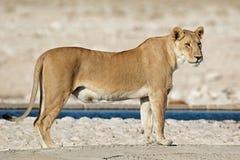 Lionne à un point d'eau Images libres de droits