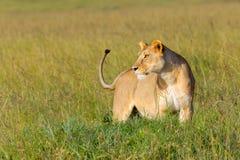 Lionne vigilante, chiquenaude de queue photos libres de droits