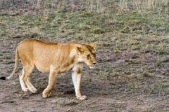 Lionnes africaines est (Panthera Lion) Photographie stock libre de droits