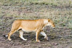 Lionnes africaines est (Panthera Lion) Photos libres de droits