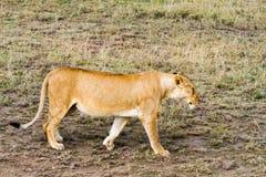 Lionnes africaines est (Panthera Lion) Images libres de droits