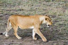 Lionnes africaines est (Panthera Lion) Photo stock