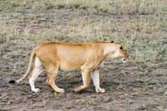 Lionnes africaines est (Panthera Lion) Image stock