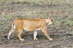 Lionnes africaines est (Panthera Lion) Image libre de droits