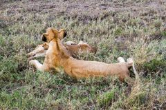 Lionnes africaines est (Panthera Lion) Images stock