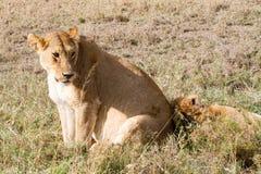 Lionnes africaines est (Panthera Lion) Photographie stock