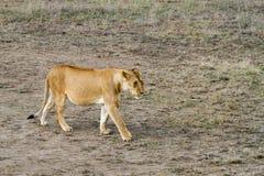 Lionnes africaines est (Panthera Lion) Photos stock