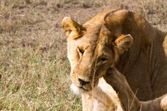 Lionnes africaines est (Panthera Lion) Photo libre de droits