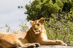Lionnes africaines et x28 ; Leo& x29 de Panthera ; dans Serengeti Image stock