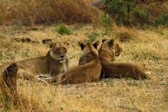 Lionnes africaines une des grands cinq Image libre de droits
