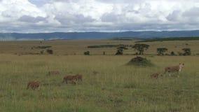 Lionnes avec des petits animaux marchant dans les plaines banque de vidéos