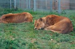 Lionnes de sommeil Images stock