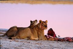 Lionnes (Panthera Lion) au Wildebeest bleu (Conno Images stock