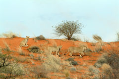 Lionnes (Panthera Lion) dans le Kalahari, Namibie Photos stock