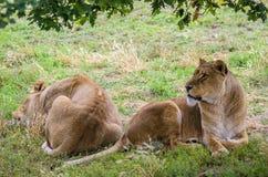 Lionnes se reposant au soleil Images libres de droits