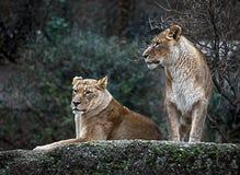 Lionnes sur la roche Image libre de droits