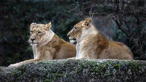 Lionnes sur la roche Photo stock