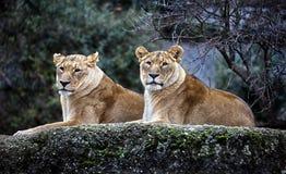 Lionnes sur la roche Photos libres de droits