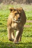 lionness Obrazy Royalty Free