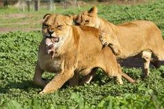 lionness Zdjęcia Stock