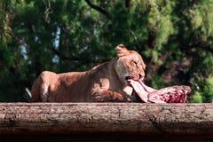 Lionness Foto de archivo libre de regalías