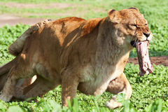 Lionness Fotos de archivo libres de regalías