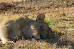 Lionness Zdjęcie Stock