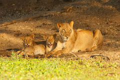 Lionness and cubs Royalty Free Stock Image