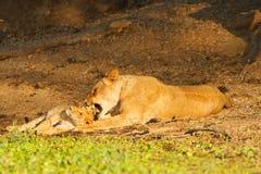 Lionness e cucciolo Fotografia Stock Libera da Diritti
