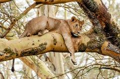 Lionness en el árbol fotos de archivo libres de regalías
