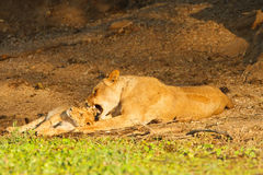 Lionness en welp Royalty-vrije Stock Foto