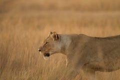 Lionness jakt i Afrika Arkivfoton